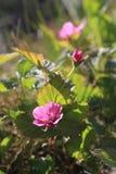 Rubus artique Photos stock