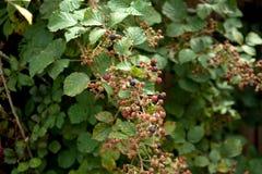 Rubus blackberries on plant. Ripe and unripe fruits