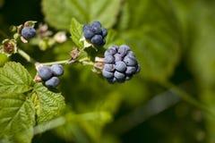 Rubus caesius Dewberry.JH Stock Images