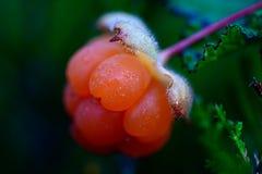 Rubus chamaemorus Lizenzfreies Stockfoto