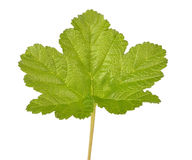 Rubus chamaemorus leaf Royalty Free Stock Photo