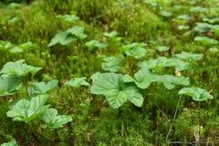 Rubus chamaemorus plant Stock Photography