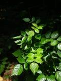 Rubus coreanus Miq Royalty Free Stock Image