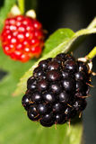 Rubus fruit Royalty Free Stock Photography