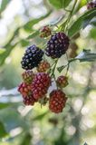 Rubus fruticosus big and tasty garden blackberries, black ripened fruits berries on branches stock images