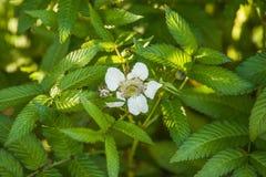 Rubus illecebrosus blooming Stock Photography