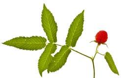 Rubus illecebrosus on white Stock Photography