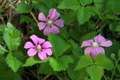 Rubus L. artico. Immagine Stock