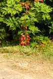 Rubus laciniatus Royalty Free Stock Photo