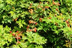 Rubus laciniatus Royalty Free Stock Images