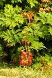 Rubus laciniatus Stock Images