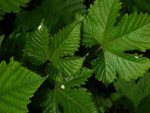 Rubus leaves. Leaves of hybrid Rubus shrubs Stock Images