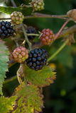 Rubus, mora Fotografia Stock