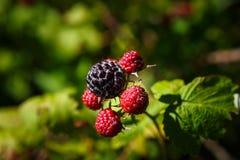 Rubus Occidentalis de la frambuesa negra Foto de archivo libre de regalías