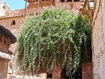 Rubus Sanctus, the Burning Bush in, Sinai, Egypt. Rubus Sanctus, the Burning Bush in Monastery of St. Catherine, Sinai, Egypt royalty free stock images