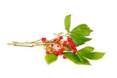 Rubus saxatilis Royalty Free Stock Photo