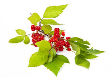 Rubus saxatilis or Stone Bramble Royalty Free Stock Photos