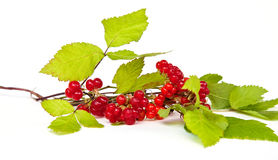 Rubus saxatilis or Stone Bramble Royalty Free Stock Photo