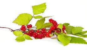Rubus saxatilis or Stone Bramble Royalty Free Stock Photo