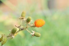 Rubus sorbifolius Maxim Royalty Free Stock Images
