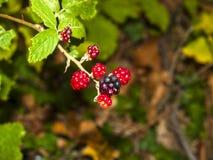 Rubusulmifolius - björnbär på busken på höst Arkivbilder