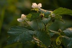 Rubusväxt i blom Arkivbild