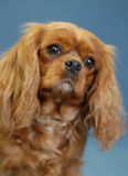 Ruby cavalier king charles spaniel Royalty Free Stock Images