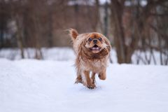 Ruby cavalier king charles spaniel in snow royalty free stock photography