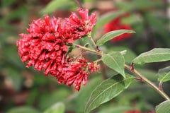 Ruby Cluster Flowers immagini stock libere da diritti