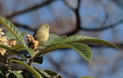 Ruby-Crowned Kinglet. Sitting on leaves of a tree stock image