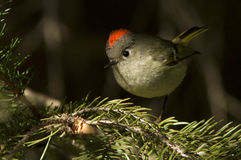 Ruby-crowned Kinglet Stock Photos