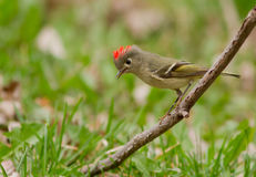 Ruby-crowned Kinglet Royalty Free Stock Photography