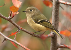 Ruby-crowned Kinglet. A small Ruby-crowned Kinglet with autumn foliage Stock Image