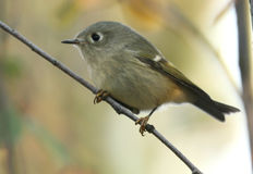Ruby-crowned Kinglet Stock Image
