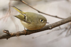 Ruby-crowned Kinglet. (Regulus calendula), photographed in Clarkston, Washington Stock Images