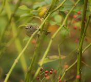 Ruby Crowned Kinglet Stock Photos