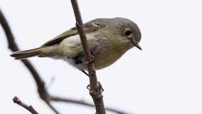 Ruby-Crowned Kinglet Royalty Free Stock Photos