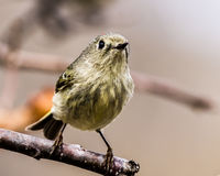 Ruby-Crowned Kinglet Stock Photography