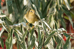 Ruby-crowned Kinglet Royalty Free Stock Image