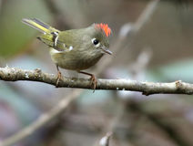 Ruby-crowned Kinglet Perched on a Branch Stock Images
