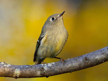 Ruby-crowned Kinglet. Perched on a tree branch Royalty Free Stock Photography