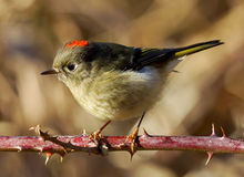 Ruby Crowned Kinglet - Regulus Calendula Royalty Free Stock Image