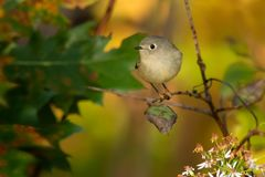 Ruby-crowned Kinglet - Regulus calendula. Ruby-crowned Kinglet perched on a branch in autumn. Rouge National Urban Park, Toronto, Ontario, Canada royalty free stock photos
