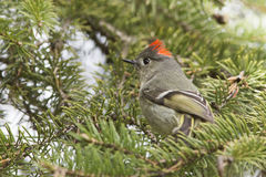 Ruby-crowned Kinglet Stock Images