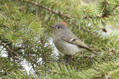 Ruby-crowned Kinglet Royalty Free Stock Photo
