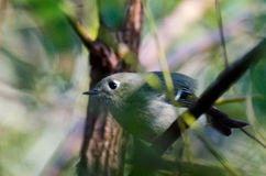 Ruby Crowned Kinglet Stock Photography