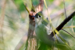 Ruby Crowned Kinglet Stock Images