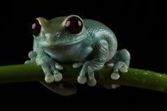 Ruby Eyed Tree Frog - en fondo negro fotografía de archivo