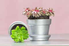 Ruby Heart Hen and Chicks and Graptopetalum Succulent on Pink Ba Royalty Free Stock Photos
