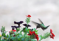 Ruby Hummingbird-All in Royalty Free Stock Image